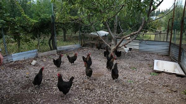 Büyükşehir'den Kocaeli çiftçisine 20 bin tavuk desteği