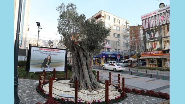 600 yıllık zeytin ağacı