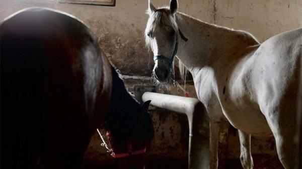 Kayıp 99 Çipli At için kaymakamlık harekete geçti